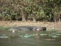 Wetlands, Krokodil